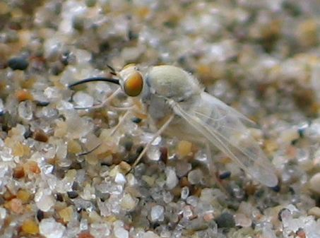 curve-billed fly - side - Tmemophlebia coquilletti