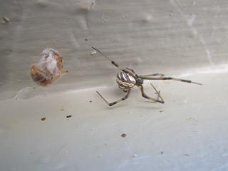 Spider 10.18.16 - Latrodectus hesperus