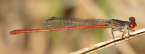 Marsh Firetail (Telebasis digiticollis) - Telebasis digiticollis - male