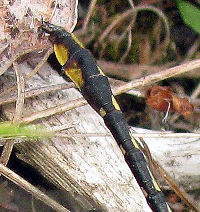Lancet Clubtail - Phanogomphus exilis - female