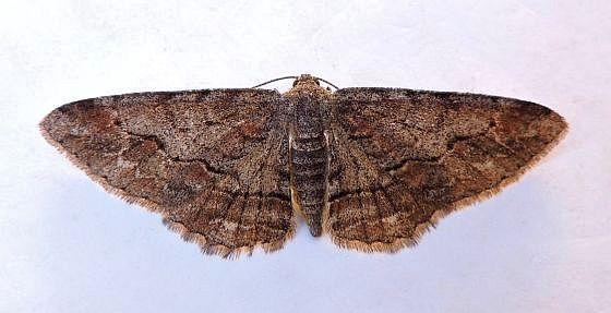 Arizona Moth - Stenoporpia vernalella - female