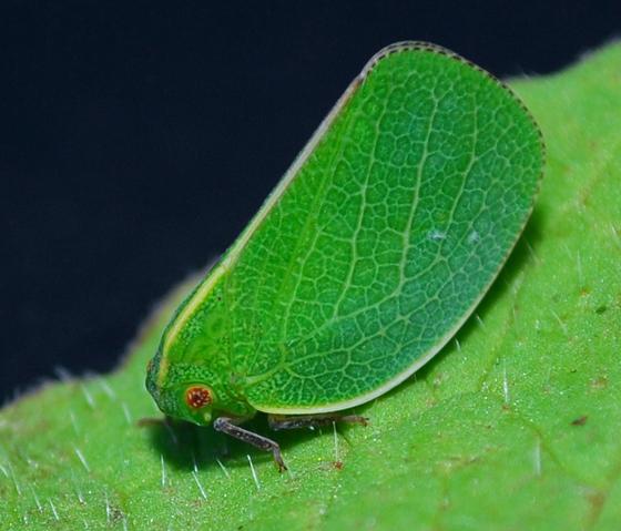 leafhopper - Acanalonia servillei
