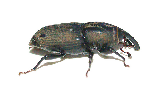Sphenophorus sp. - Sphenophorus phoeniciensis