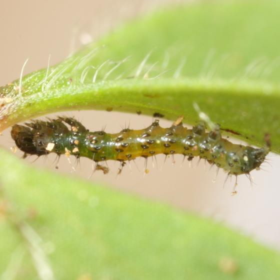 Noctuid caterpillar on wood anemone - Cerastis tenebrifera
