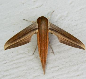 Moth?  Fly?   - Xylophanes tersa