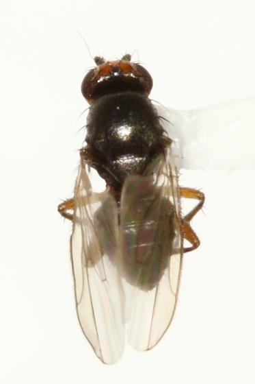 Sphaerocerid - S. ochripes - Spelobia ochripes