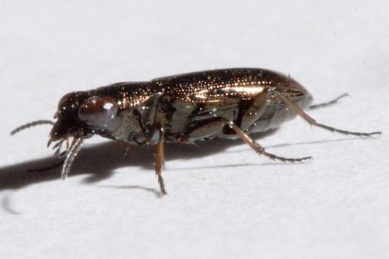 Notiophilus?  -Perhaps N. aquaticus? - Notiophilus biguttatus