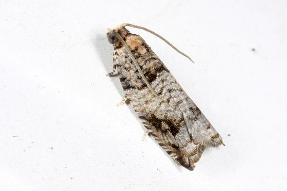Moth - Rhopobota dietziana