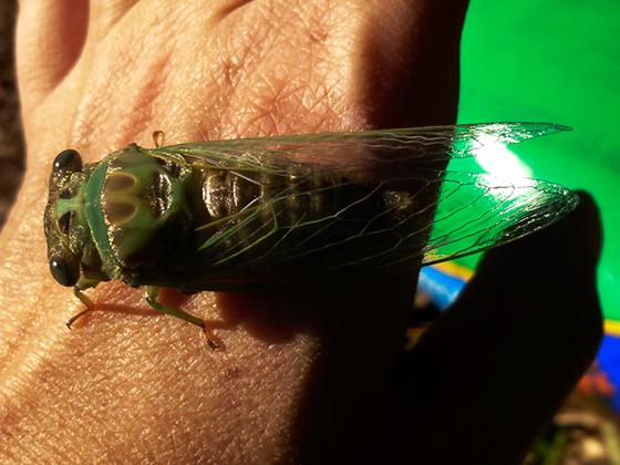 Summer cicada - Tibicen - Neotibicen winnemanna