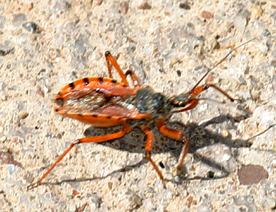Assassin Bug - Rhynocoris ventralis