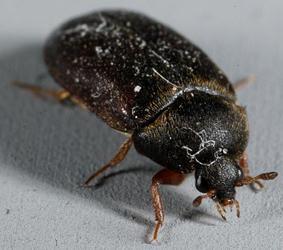 UT Beetle - Attagenus unicolor