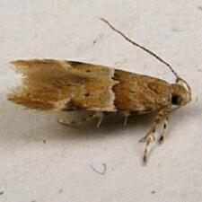 1722 - Theisoa constrictella (Anomologinae) - Theisoa constrictella