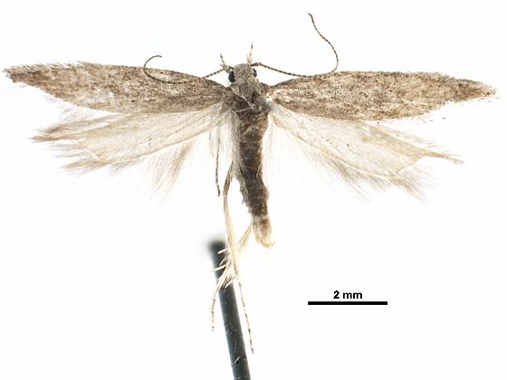 2013.5 Tuta spinosa - Scrobipalpuloides spinosa