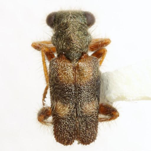 Phyllobaenus discoideus (LeConte) - Phyllobaenus discoideus