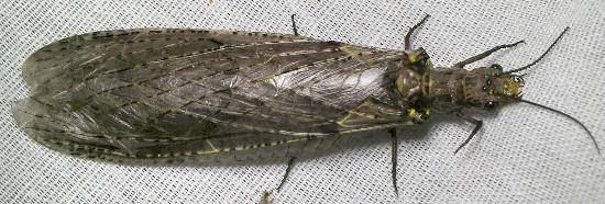 fishfly - Chauliodes rastricornis - female