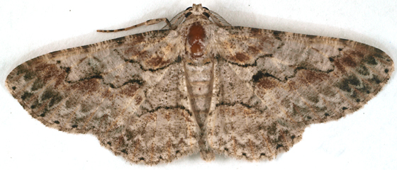Moth to blacklight - Iridopsis defectaria - male