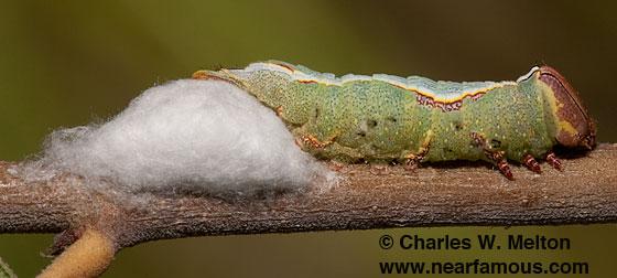 Heterocampa averna larva parasitized - Heterocampa averna