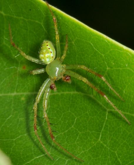 Male Araneus  - Araneus cingulatus - male