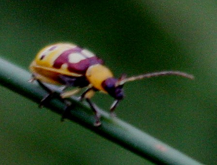 Mystery Leaf Beetle - Paranapiacaba connexa