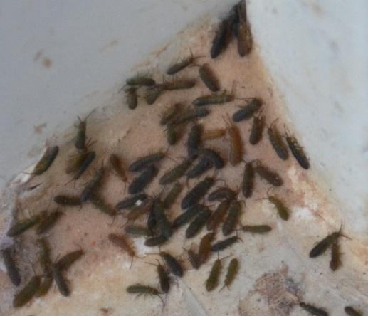 crawling bug on concrete - Isotoma