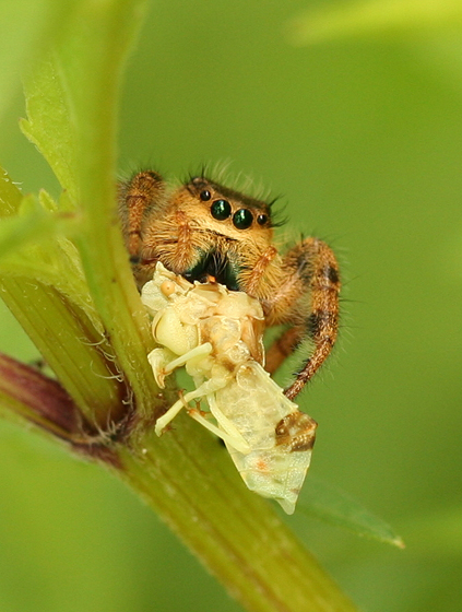 Jumping Spider - Phidippus clarus - female