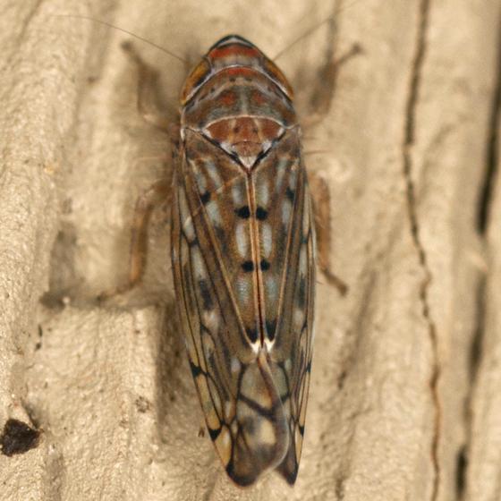 Deltocephalinae Leafhopper - Osbornellus