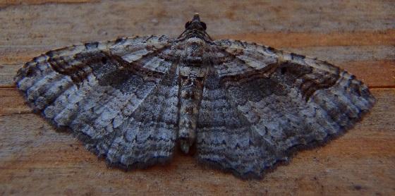 Costaconvexa centrostrigaria (Bent-Line Carpet) - Costaconvexa centrostrigaria - female