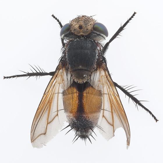 Fly - Gonia crassicornis