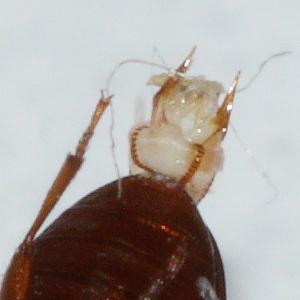 Pleasing Fungus Beetle - Dacne quadrimaculata - male