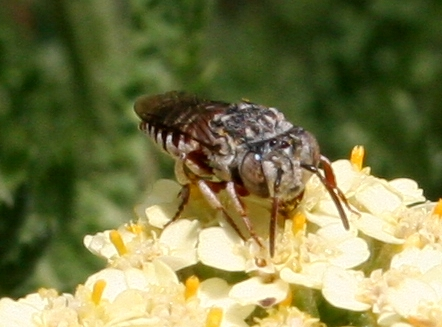 Old World Bee ID Request - Coelioxys coturnix - female