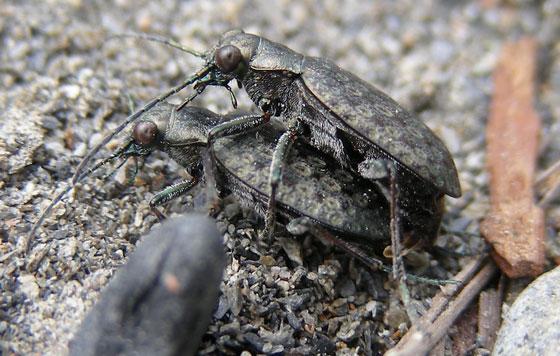 Opisthius richardsoni mating pair - Opisthius richardsoni - male - female
