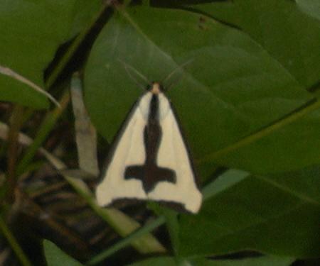 Very strange: light tan delta wing with a black cross on top of wing - Haploa clymene