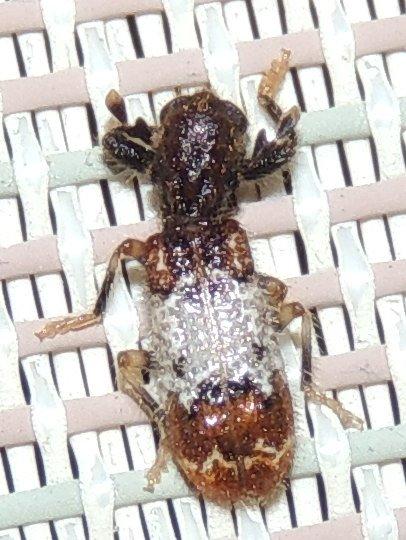 White banded (beetle?)? - Pelonium leucophaeum