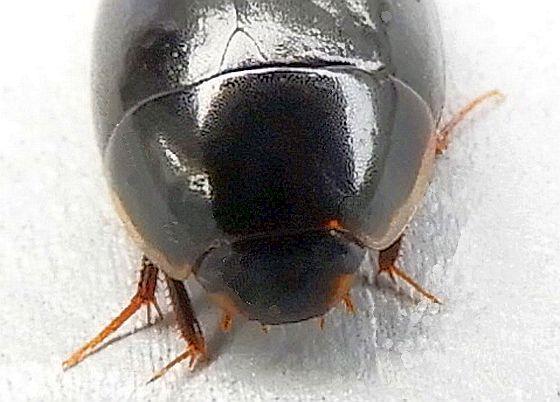 Pennsylvania Beetle for ID - Enochrus - Enochrus