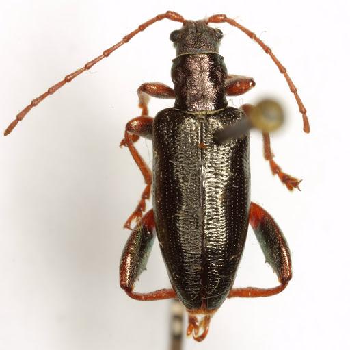 Poecilocera harrisii (LeConte)  - Poecilocera harrisii