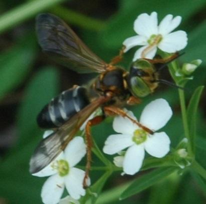 green eyed bee/wasp? - Tachytes distinctus - female