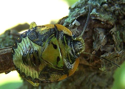 Baby bugs - Chinavia hilaris