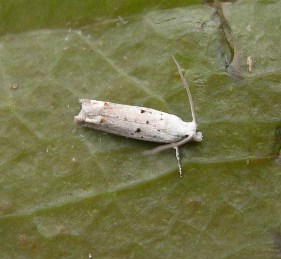 Moth - Epiblema separationis
