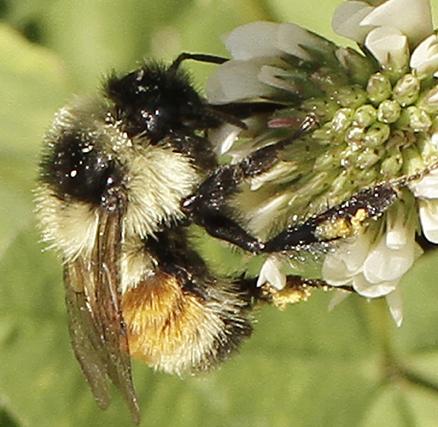 Small Bumblebee - Bombus ternarius - female