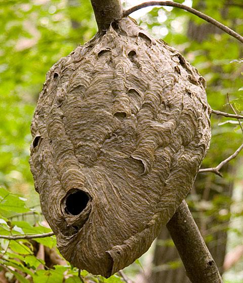 Dolichovespula maculata Nest? - Dolichovespula maculata