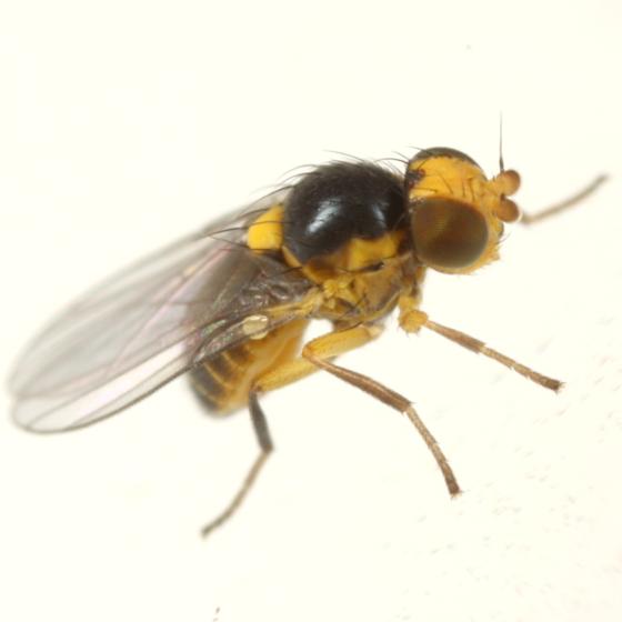 Liriomyza pilicornis - male