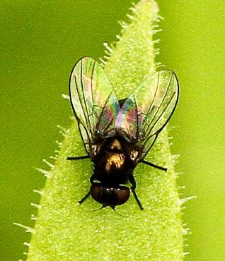Tiny dark fly - Melanagromyza