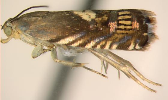 Olethreutinae, lateral - Grapholita fana