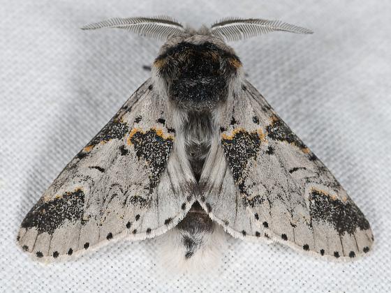 Furcula occidentalis - Furcula - male