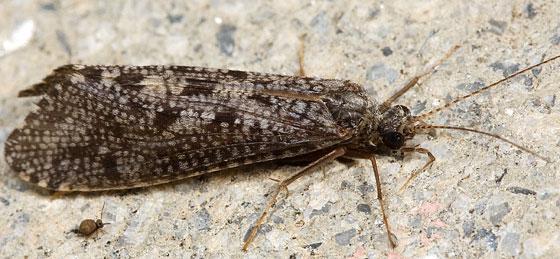 Caddisfly - possibly Banksiola?