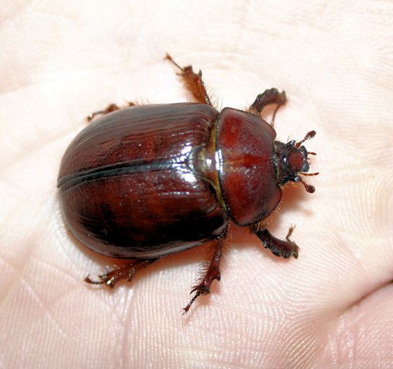 Beetles Found in Oregon Oregon Rain Beetle Pleocoma