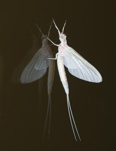 mayfly - Hexagenia