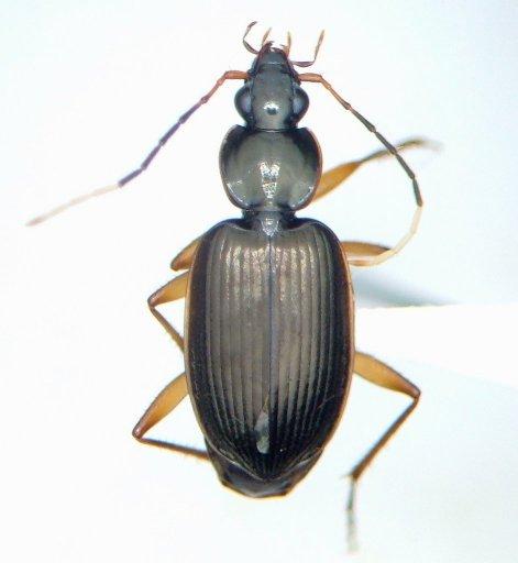 - - Tetraleucus picticornis