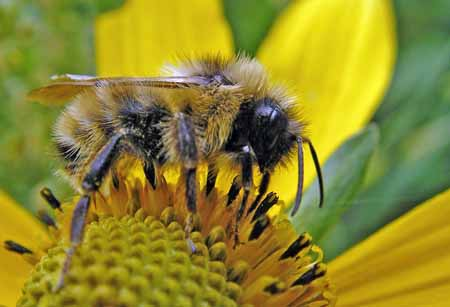 Confusing Bumble Bee - Bombus fernaldae