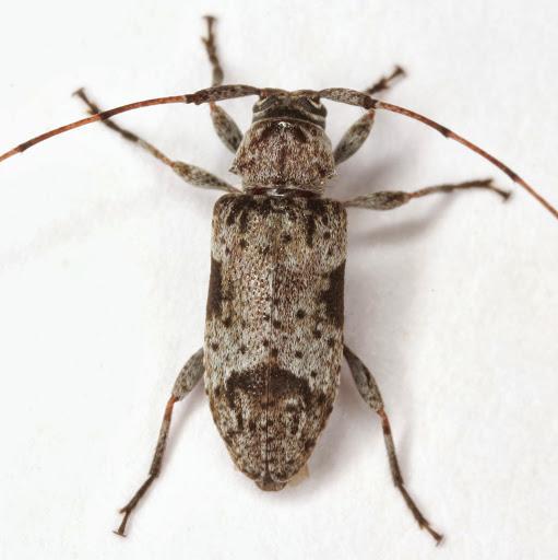 Sternidius decorus (Fall) - Sternidius decorus
